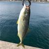みんなの北海道釣り情報【津軽海峡】海面でナブラが、、?小魚を追いかけまわすギャングはこいつだ!