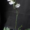Habenaria dentata 'Leafless'