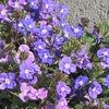 青紫色の花が無数に! ベロニカ・オックスフォードブルー