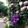 横浜イングリッシュガーデンにバラの庭を撮りに行った