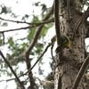 木を駆け上るアオゲラ