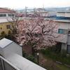 中庭の染井吉野が咲きだしました