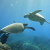ハワイで天然のイルカとウミガメを見よう! イルカ大学がオススメ(動画付き)