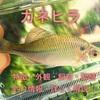 カネヒラの特徴・外観・飼育・繁殖・釣り情報を詳しく解説!
