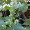 2021年9月19日 ベランダ菜園日記(シソ編)『花が咲きました!』(一部、虫に食い散らかされてます(^^;))