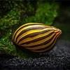 シマカノコ貝の飼育方法や特徴・繁殖・脱走対策等詳しく解説!