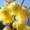 智光山公園 『 早春の花 福寿草とシナマンサク 』