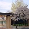 【変わりゆく・甲子園球場の今】(2020年4月3日)桜満開の華ある甲子園