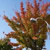街路樹の葉が赤や黄になってきた
