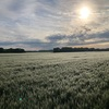 朝露に濡れた麦の美しさに感動。百緑という色だったのかなぁ。
