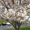 4月は桜色。でも最近のソメイヨシノは3月に満開になっちゃいますね。