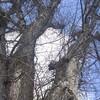 ハルニレの樹