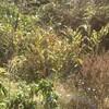 晩秋のミョウガの姿とフカフカの土