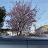 桜が咲いてます お隣さん家の