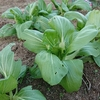 家庭菜園 -収穫の喜びと恐怖について-