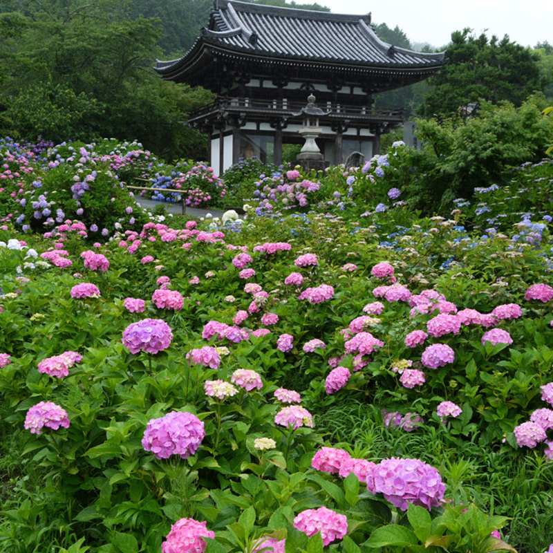 梅雨時こそ見頃!しっとり風情が楽しめる京都の紫陽花名所