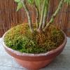 苔の蒴(さく)熟す五月