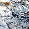 満開の梅花の蜜を吸うヒヨドリ