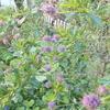 色づくライラックとオリーブの花とツワブキクッキング