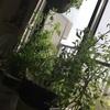 真冬のミニトマト栽培🍅
