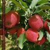 メルボルン郊外でりんご狩り -Sanders Apples-