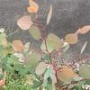 #5 ユーカリポポラス 葉が赤い