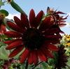 『赤茶色いヒマワリ』が咲く、和泉リサイクル環境公園【大阪府和泉市納花町】