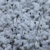 雪の朝 〜 イトバハルシャギク