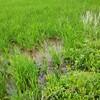 稲の様子 2021.07