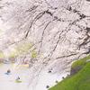 続)千鳥ヶ淵の桜をルミックスDMC-GM1で撮影♪