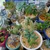🌵多肉植物  🎉祝🎉ブログ開始4ヶ月👏🌵