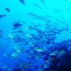 ♪魚影の濃さは慶良間でも屈指♪〜沖縄ダイビング・慶良間〜