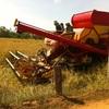 タイで稲刈りを手伝ってみた イサーン地方で農作業