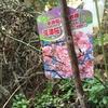 暮れに注文して年初に到着していた河津桜の苗を植樹