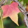 秋を彩る、カエデの木