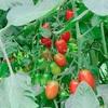 【田舎暮らし】畑で夏野菜育てて毎日野菜いっぱい食べてたら痩せたよって話(自家菜園ダイエット)
