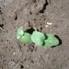 オクラとニンジンの発芽、夏野菜の成長記録