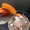 ミラビリスの葉っぱがでてきたよ
