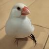【涙】文鳥が壊死で片足を失おうとしている|ケガと障害と回復の軌跡