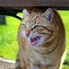 猫が「カカカッ」と鳴いてるクラッキングの意味は何?