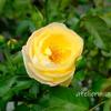 7月 黄色のシャトードゥシュベルニー【鉢バラ】