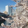 大岡川の桜見てきた2019