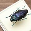 博ふぇす商品:その他の甲虫