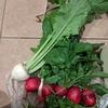 梅雨が早すぎます/自宅外装工事中/野菜は早くも病害虫とのたたかい