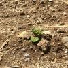 ラボ1畑のジャガイモ発芽