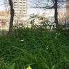 ★黄色い花とクローバー