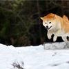 柴犬さんが大好きです♪ (冬はお嫌いですか?編)