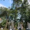 お墓や梨畑際の伐採 8日目 無事終了 & サワラ4本木登り伐採
