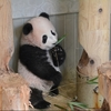 赤ちゃんパンダのシャンシャン、12月19日に公開!!赤ちゃんパンダは29年ぶり