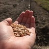 初めてのスペルト小麦栽培 ②